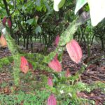 Cocoa pods on the treesmall